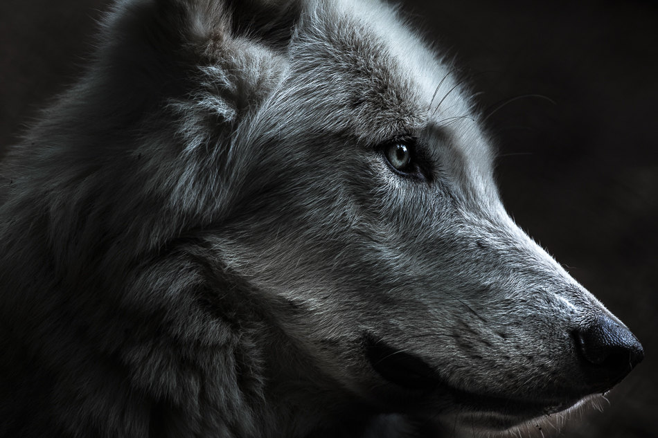 wolf in profile
